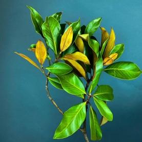 Листья Магнолии фото