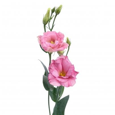 Эустома Розовая фото