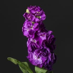 Маттиола Фиолетовая фото