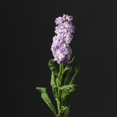 Маттиола Сиреневая фото