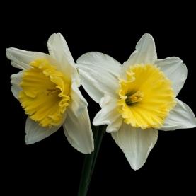 Нарцисс Белый фото