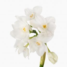 Нарцисс Белый Кустовой фото