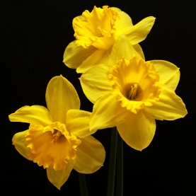 Нарцисс Желтый фото