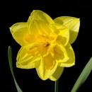 Нарцисс Желтый Махровый