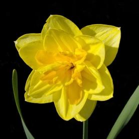 Нарцисс Желтый Махровый фото