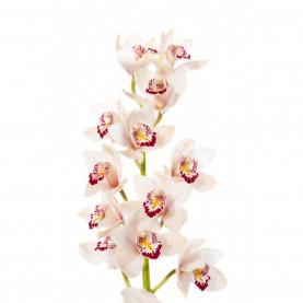 Орхидея Цимбидиум Белая (ветка) фото