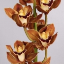 Орхидея Кофейная