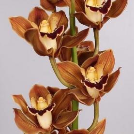 Орхидея Цимбидиум Кофейная (1 цветок)