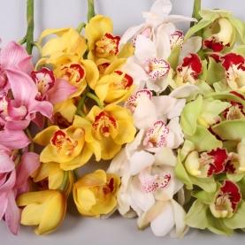 Орхидея Цимбидиум Микс фото