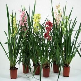 Орхидея Цимбидиум Mix в горшке 14/80 фото