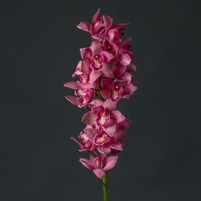 Орхидея Цимбидиум Бордовая фото