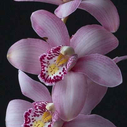 Орхидея Цимбидиум Розовая фото
