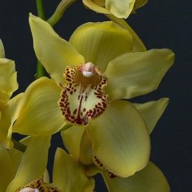 Орхидея Цимбидиум Желтая фото