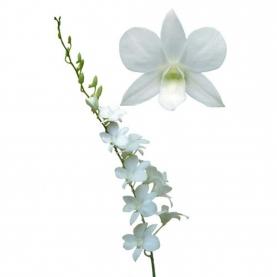 Орхидея дендробиум белая поштучно фото