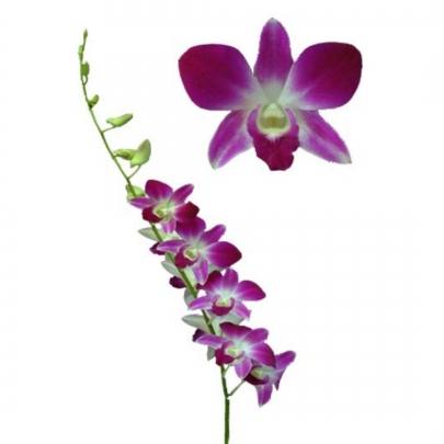 Орхидея Дендробиум Бело-Фиолетовая фото