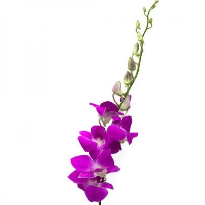 Орхидея дендробиум фиолетовая поштучно фото