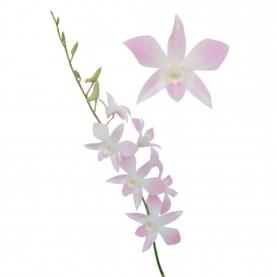 Орхидея Дендробиум Нежно-Розовая фото