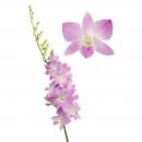 Орхидея Дендробиум (Sakura)