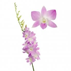 Орхидея Дендробиум Розовая фото