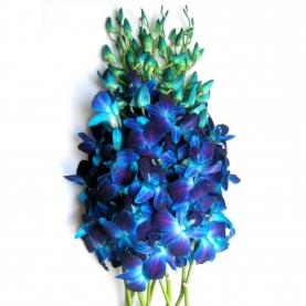 Орхидея дендробиум синяя поштучно фото