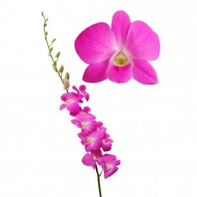 Орхидея Дендробиум Ярко-Розовая фото