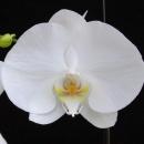 Орхидея Фаленопсис 60см