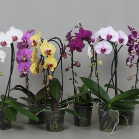 Орхидея Фаленопсис Mix Каскад 12/50 фото