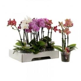 Орхидея Фаленопсис Мулитьфлора Mix 12/30 фото
