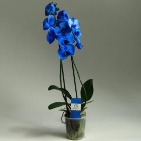 Орхидея Фаленопсис синий (2 ветки) 12/75   фото