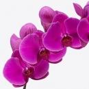 Орхидея Фаленопсис (Tak Beau Monde)