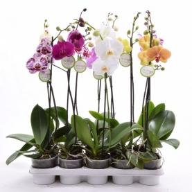 Орхидея Фаленопсис в горшке 12/60 (1 ветка) фото