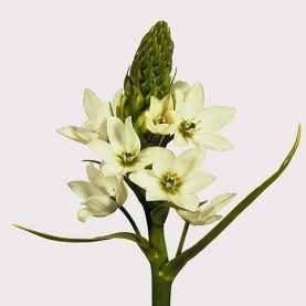 Орнитогалум Белый фото