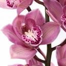 Орхидея Цимбидиум 60см