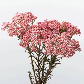 Озотамнус Розовый фото