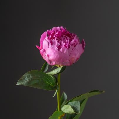 Пион малиновый поштучно фото