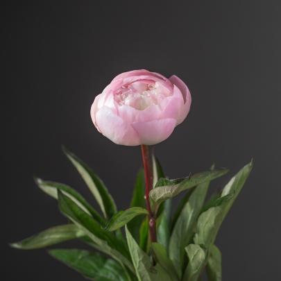 Пион розовый поштучно фото
