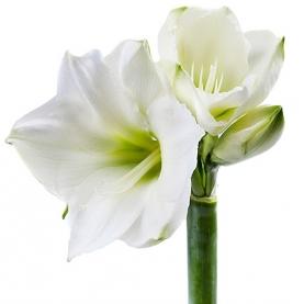 Амариллис белый фото