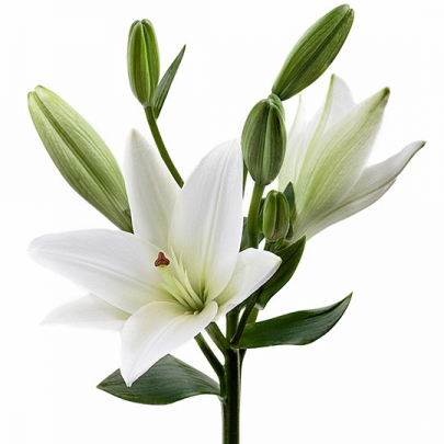 Лилия белая поштучно фото