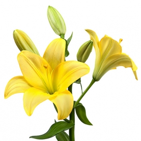 Лилия желтая поштучно фото