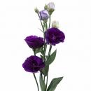 Эустома (Bohemian Black Violet)