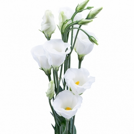 Лизиантус белый фото