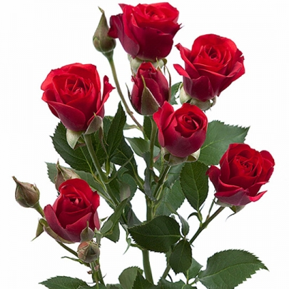 Роза кустовая красная (60 см.) фото