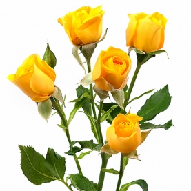 Роза Желтая Кустовая (50 см.) фото