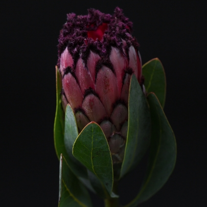 Протея Бордовая фото
