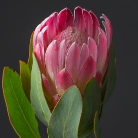 Протея розовая поштучно фото
