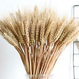 Пшеница cухоцвет фото