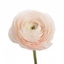 Ранункулюс Нежно-Розовый