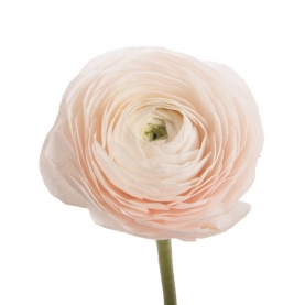 Ранункулюс Нежно-Розовый фото