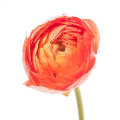 Ранункулюс оранжевый фото