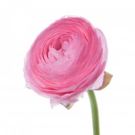Ранункулюс Розовый фото